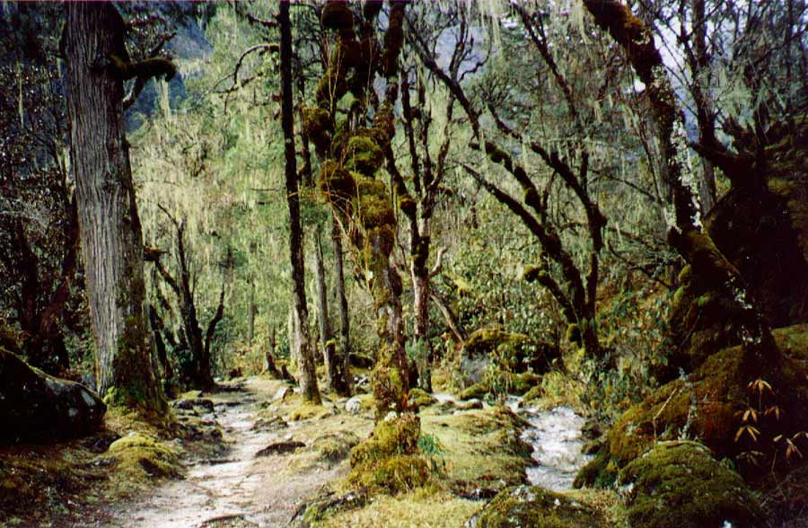 Enchanted forest between Ghunsa and Phale small creeks murmur between